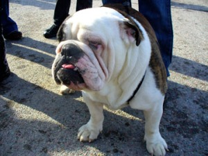 Bar stool races spectator's dog, Tank.