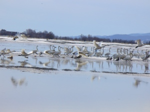 Tundra Swans take off.
