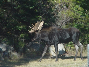 Backyard Bull Moose in Montana