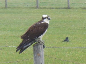 Osprey hanging out on small post.