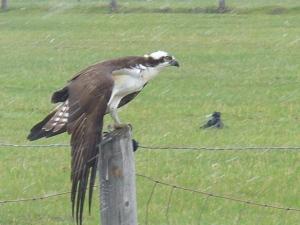 Osprey Stretching.
