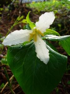 Trillium after a Spring rain.